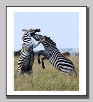 Zebra Fighting Masi Mara 3