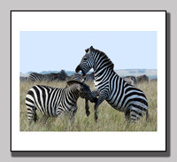 Zebra Fighting Masi Mara