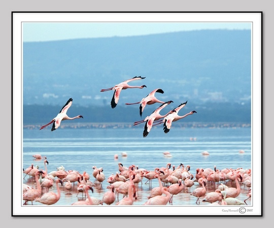Flamingo's in Flight